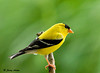 "<div class=""jaDesc""> <h4>Male Goldfinch All Aglow - July 8, 2009</h4> <p>I love how brilliant yellow the male Goldfinches are this time of year. This guy was very cooperative - like he wanted to have his picture taken.  </p> </div>"