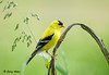 "<div class=""jaDesc""> <h4>Male Goldfinch on Dried Sunflower Stalk - June 6, 2009</h4> <p>The Goldfinches enjoy perching on the dried sunflower stalks I leave up from the previous year.  This guy is in his full summer plumage. </p> </div>"
