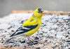 "<div class=""jaDesc""> <h4>Male Goldfinch - April 5, 2019</h4> <p></p></div>"