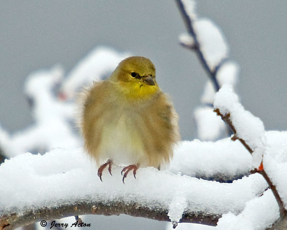 """<div class=""""jaDesc""""> <h4>Male Goldfinch Fluffed - December 12, 2008</h4> <p> The Goldfinches look so cute when they fluff their feathers against the cold breeze. </p> </div>"""