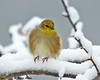 "<div class=""jaDesc""> <h4>Male Goldfinch Fluffed - December 12, 2008</h4> <p> The Goldfinches look so cute when they fluff their feathers against the cold breeze. </p> </div>"