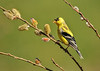 "<div class=""jaDesc""> <h4>Male Goldfinch in Pussy Willows - April 20, 2016</h4> <p>The Pussy Willows are budding and the Goldfinches are blooming.</p></div>"