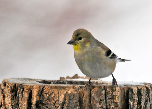 """<div class=""""jaDesc""""> <h4>Goldfinch Arrives on Frigid Morning - January 20, 2015</h4> <p>We have had very few visits by Goldfinches so far this winter.  Yesterday morning when it was 6 degrees and breezy, two showed up for breakfast and were around all day.  This one is starting to show some summer plumage in the throat area. </p> </div>"""