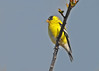 "<div class=""jaDesc""> <h4>Male Goldfinch in Budding Cherry Tree - April 20, 2016</h4> <p>It is nice to have the Goldfinches transitioning to their  bright summer plumage.</p></div>"