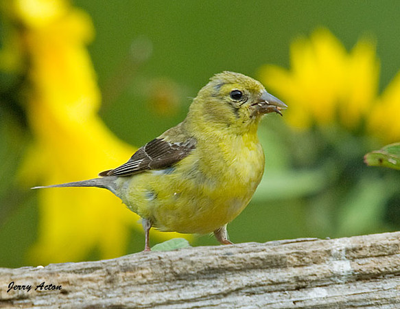 "<div class=""jaDesc""> <h4> Female Goldfinch Losing Her Summer Color - September 21, 2009</h4> <p> This is the mother Goldfinch that has 3 babies begging her to feed them.  She is starting to lose her summer feathers.</p> </div>"