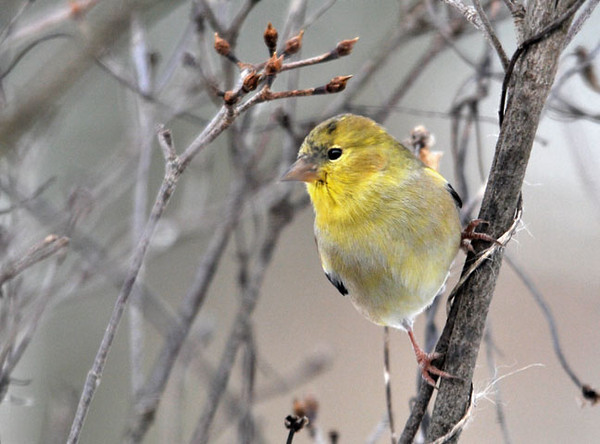 """<div class=""""jaDesc""""> <h4>Goldfinch in Dogwood Tree - January 13, 2011</h4> <p> One of our 12 Goldfinches is starting to show some bright colors. He is getting a jump on his male competition for spring courtship.</p> </div>"""