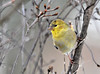 "<div class=""jaDesc""> <h4>Goldfinch in Dogwood Tree - January 13, 2011</h4> <p> One of our 12 Goldfinches is starting to show some bright colors. He is getting a jump on his male competition for spring courtship.</p> </div>"