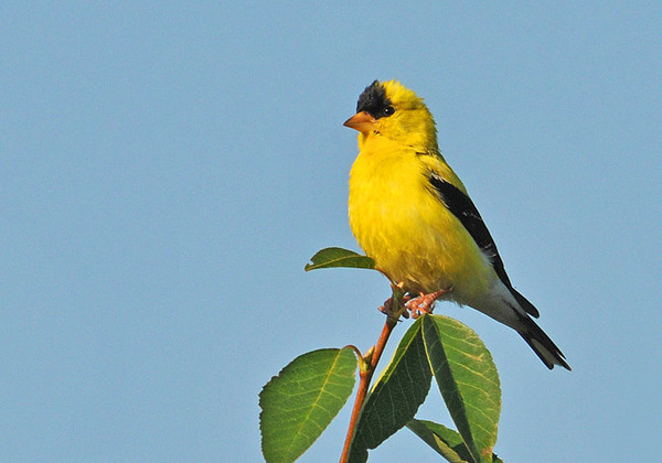"<div class=""jaDesc""> <h4>Male Goldfinch Surveying Yard - August 19, 2010</h4> <p> Most of our Goldfinches have disappeared, but we still have 2 pair hanging around. This male Goldfinch was surveying the yard from the very top of a serviceberry tree.</p> </div>"