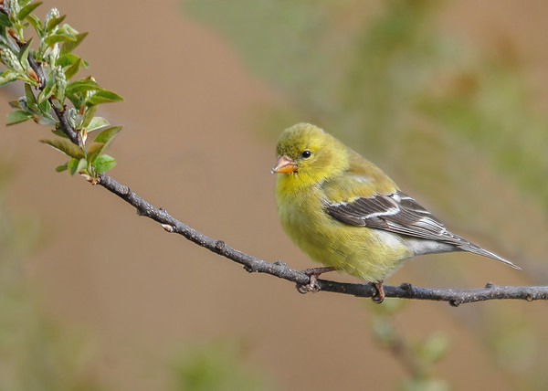 """<div class=""""jaDesc""""> <h4>Female Goldfinch on Wild Cherry Branch - April 28, 2016</h4> <p>This is one of their favorite trees when approaching the feeders, nice open slender branches.</p></div>"""