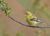"<div class=""jaDesc""> <h4>Female Goldfinch on Wild Cherry Branch - April 28, 2016</h4> <p>This is one of their favorite trees when approaching the feeders, nice open slender branches.</p></div>"