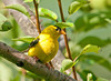 """<div class=""""jaDesc""""> <h4> Male Goldfinch Perched in Pear Tree - August 11, 2011</h4> <p> This male Goldfinch was hiding in our pear tree on his approach to the thistle feeder.</p> </div>"""