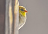 "<div class=""jaDesc""> <h4>Goldfinch Peek-a-Boo  - March 18, 2018</h4> <p>Two Goldfinches visited our back porch this afternoon.  This one was perched on a flower pot hanger and peeking around the post.</p></div>"