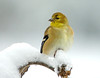 "<div class=""jaDesc""> <h4>Male Goldfinch on Snowy Perch - December 12, 2008</h4> <p> We had a big snow last night.  The Goldfinches really stand out with the white background. </p> </div>"