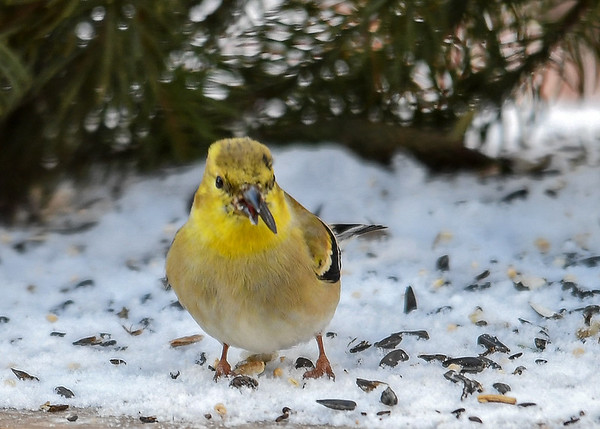 """<div class=""""jaDesc""""> <h4>Goldfinch Cracking Seed Open - January 6, 2017</h4> <p>They are amazingly adept with their beaks.</p></div>"""