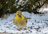 "<div class=""jaDesc""> <h4>Goldfinch Cracking Seed Open - January 6, 2017</h4> <p>They are amazingly adept with their beaks.</p></div>"