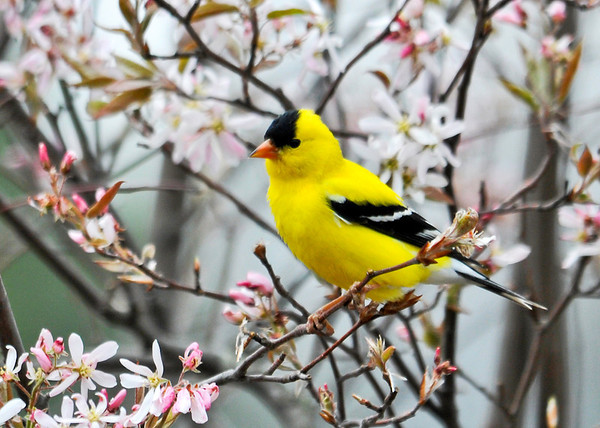 """<div class=""""jaDesc""""> <h4>Goldfinch in Blooming Serviceberry Tree - May 7, 2014</h4> <p>Our serviceberry trees only bloom for a few days each Spring.  It was nice to see this male Goldfinch perched among the blossoms.</p> </div>"""