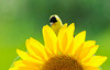 """<div class=""""jaDesc""""> <h4> Goldfinch Peek-a-Boo in Sunflower - August 20, 2012</h4> <p> The sunflowers are in full bloom.  This male Goldfinch was peeking out from between the petals.</p> </div>"""
