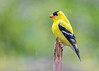 "<div class=""jaDesc""> <h4>Goldfinch on Rainy Day - June 4, 2017</h4> <p>The rain does not bother these beauties.  Our 12 male regulars are all now in their brightest plumage.</p></div>"