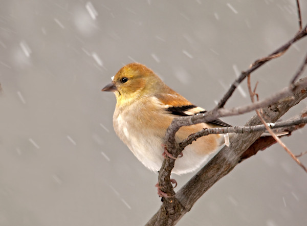 """<div class=""""jaDesc""""> <h4> Goldfinch on Snowy Day - January 4, 2012</h4> <p>  With the recent cold, snowy weather a flock of 12 Goldfinches have arrived. The icy snowflakes were bouncing off this male as he faced into a squall.</p> </div>"""