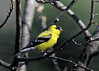 "<div class=""jaDesc""> <h4> Male Goldfinch Getting Brighter - April 24, 2014</h4> <p>It seems like every day the Goldfinches get brighter.  It is a real joy to have their lovely yellow glowing in the sunshine.  We have 6 of them now.</p> </div>"
