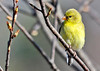 """<div class=""""jaDesc""""> <h4>Goldfinch Looking Pretty - April 24, 2014</h4> <p>While not the brighter of the Goldfinches, this one is the cutest to my eye.</p> </div>"""