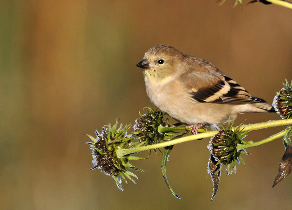 """<div class=""""jaDesc""""> <h4> Goldfinch in Morning Sun - October 28, 2011</h4> <p> A flock of Goldfinches descended on a field of frosty dried flowers. They were too busy eating seeds to notice that I was getting very close.</p> </div>"""