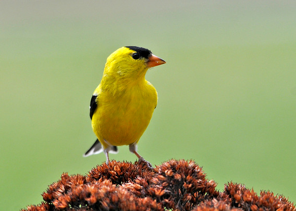 """<div class=""""jaDesc""""> <h4>Male Goldfinch Posing - May 2, 2014</h4> <p>One of our male Goldfinches landed on a dried Sedum head in one of our flower beds.  He looked puzzled by my presence, and calmly perched longer than normal.</p> </div>"""