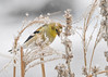 "<div class=""jaDesc""> <h4>Goldfinch on Ornamental Grass - March 3, 2017</h4> <p>During a snow storm, 36 Goldfinches were taking turns coming to feeders.  They would stage in the trees, land briefly on the ornamental grass stems and then move down to the feeders.</p></div>"
