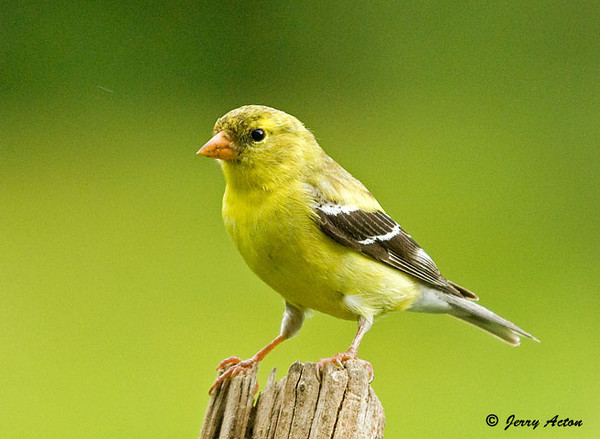 """<div class=""""jaDesc""""> <h4>Female Goldfinch Posing - July 5, 2009</h4> <p>This gal landed six feet away from me and stayed put for about 30 seconds.  A flock of about 2 dozen are around all day.  They are getting used to my presence with the camera and lens. </p> </div>"""