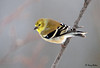 "<div class=""jaDesc""> <h4>Male Goldfinch on the Go - January 2, 2009</h4> <p>This male Goldfinch is showing his spring colors.  He is one of 4 Goldfinches that hang out with the 50 or so Pine Siskins that are still here. </p> </div>"