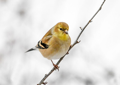 Male Goldfinch - Bit of Yellow on Chin - January 18, 2020 Just starting to molt.