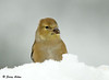"<div class=""jaDesc""> <h4>Female Goldfinch in Snow Bank - December 12, 2008</h4> <p> The tray feeder was totally covered in snow.  This female Goldfinch was digging down through the snow to find sunflower seeds. </p> </div>"