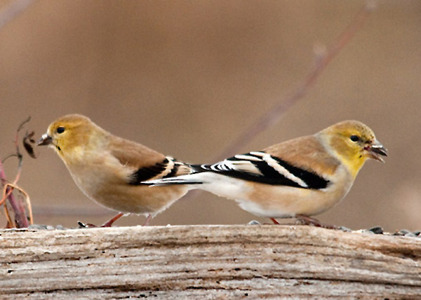 """<div class=""""jaDesc""""> <h4> Goldfinches Eating Sunflower Seeds - February 6, 2010</h4> <p> Normally the goldfinches dine on niger seed, but when it is very cold and windy they need more energy.  This pair is eating sunflower seeds to help them stay warm.  They are both just starting to show some brighter yellow in their faces as they get a head start on their spring molting.</p> </div>"""
