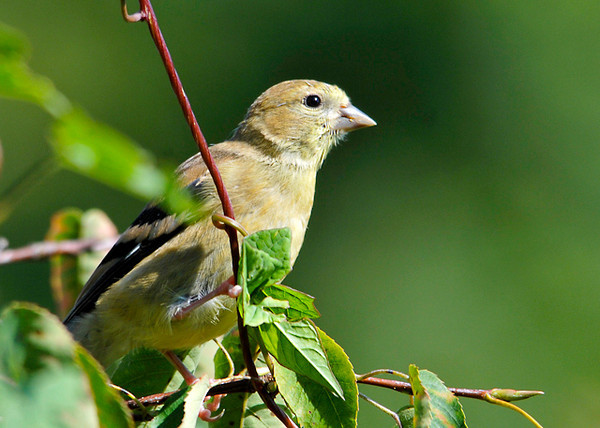 """<div class=""""jaDesc""""> <h4> Juvenile Goldfinch Exploring - August 30, 2013 - Video Attached</h4> <p> The juvenile Goldfinches are starting to venture out on their own.  They peck at everything looking for seeds and bugs.</p> </div> <center> <a href=""""http://www.youtube.com/watch?v=oRtE7LB8K0A"""" style=""""color: #0AC216"""" class=""""lightbox""""><strong> Play Video</strong></a> </center>"""