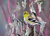 "<div class=""jaDesc""> <h4>Goldfinch in Red-twig Dogwood Bush - January 28, 2017</h4> <p>After an ice storm and a snow storm, we now have 24 Goldfinches around all day long.  They are chowing down on finch mix (thistle and sunflower chips) as well as black-oiled sunflower seeds.  This male is making great progress on his breeding plumage.</p></div>"