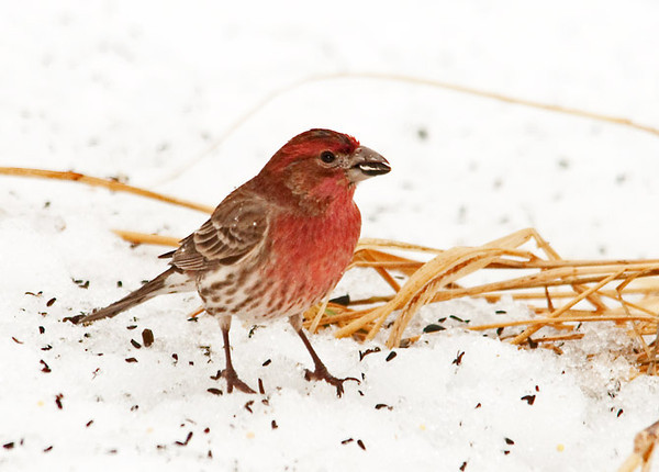 "<div class=""jaDesc""> <h4>Male House Finch Snacking - 1st of Year - March 10, 2011 </h4> <p>This may be the same male House Finch that visited in late December. If it is, he is looking even brighter this visit in his full breeding color.</p> </div>"