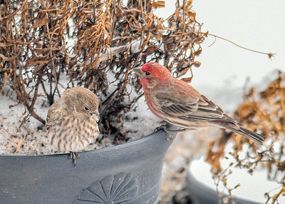 Male and Female House Finch in Flower Pot  - January 18 2020