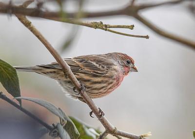 Immature Male House Finch in Viburnum  - November 10, 2019