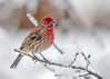 "<div class=""jaDesc""> <h4>Male House Finch on Icy Branch - January 23, 2017 </h4> <p>We had an ice storm last night leaving all the trees with a slippery coating.  It did not bother this male House Finch who remained very stable on the icy branch.</p> </div>"