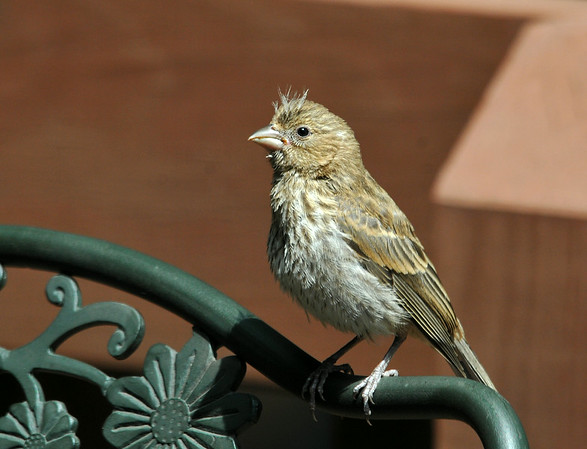 """<div class=""""jaDesc""""> <h4>Juvenile House Finch - July 7, 2014 </h4> <p> This juvenile House Finch was following his dad around my brother-in-law's backyard.  He landed on a deck chair, hoping dad would bring him some seed.</p> </div>"""
