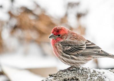 Male House Finch on Log  - January 18 2020