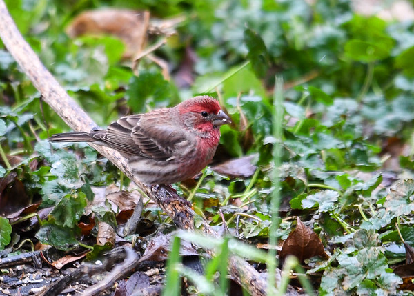 "<div class=""jaDesc""> <h4>Male House Finch in Favorite Spot - December 14, 2017 </h4> <p>This patch of ground cover is a favorite ground feeding spot for the House Finches.  They seem to enjoy finding the white millet seed I toss in there every morning.</p> </div>"