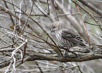 """<div class=""""jaDesc""""> <h4>Female House Finch in Honeysuckle Bush - November 19, 2017 </h4> <p>This female House Finch blends in perfectly with the bark of our honeysuckle bushes.  She stayed in the bush until she had time to scope out the safety of ground feeding with the male.</p> </div>"""