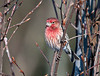 "<div class=""jaDesc""> <h4>Male House Finch in Afternoon Sun - February 1, 2010 </h4> <p>This is the male House Finch of the pair that visited today.  He perched briefly in the direct sunlight, then joined his mate at the feeder.</p> </div>"