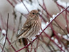 "<div class=""jaDesc""> <h4>Female House Finch in Red-twig Dogwood - December 9, 2011 </h4> <p>Half of the flock of House Finches that arrived today were females. This pretty gal perched on a snowy red-twig dogwood branch on her way into the feeders.</p> </div>"