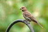 "<div class=""jaDesc""> <h4>Juvenile Female House Finch - August 27, 2011 </h4> <p>We had two mating pairs of House Finches this year that nested in our spruce tree grove. This juvenile female was one of the off-spring.</p> </div>"