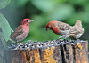 "<div class=""jaDesc""> <h4>Male House Finch and Male Purple Finch - June 8, 2016 </h4> <p>It took me quite a few years to finally get clear on the difference between these male finches.  The Purple Finch on the left has more of a raspberry red coloring that is intense on top and fades a bit moving through the wing feathers and breast.  The male House Finch has more of a conventional red coloring concentrated mostly in the head and upper breast.  The lower belly and wing feathers are brown and white.</p> </div>"