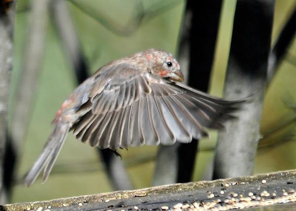 "<div class=""jaDesc""> <h4>Juvenile House Finch Taking Off - October 12, 2014 </h4> <p></p> </div>"