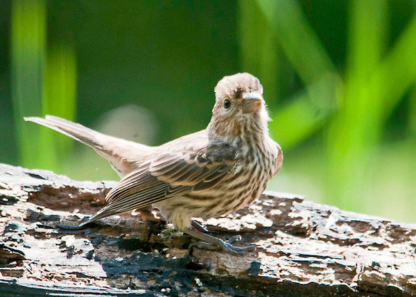 "<div class=""jaDesc""> <h4>Baby House Finch Looking to Be Fed- June 9, 2013 </h4> <p> One of our baby House Finches is looking for a parent to feed him.  The male babies have just a hint of red in their feathers, whereas the females do not.</p> </div>"
