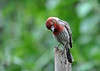 "<div class=""jaDesc""> <h4>Male House Finch in Rain - June 8, 2016 </h4> <p>This male House Finch was looking for seed during a rain shower.</p> </div>"